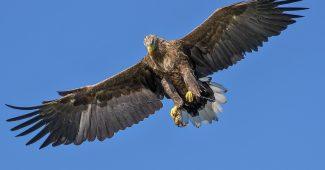 águila animal aéreo