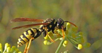 Cuáles son las especies de avispas que existen